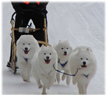 how to teach a dog to pull a sled